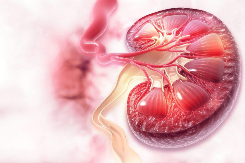Kidney cross-section circulation